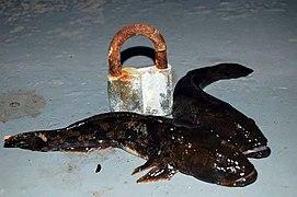 бычок рыба фото