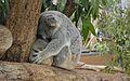 Koala @Taronga Zoo - Sydney.jpg