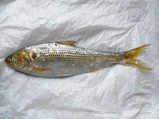 Konosirus punctatus