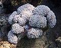 Korallen im Roten Meer. DSCF3846BE.jpg