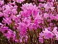 Korea-Jindallae-Rhododendron mucronulatum-01.jpg