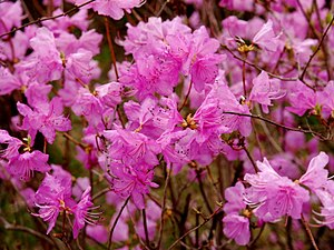 Rhododendron mucronulatum - In a park in Goyang, in Gyeonggi Province, South Korea