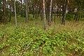 Korina 2014-08-29 Mahonia aquifolium 2.jpg