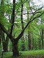 Kornik Arboretum buk amerykanski.jpg