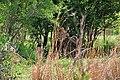 Kruger Park, Lion - panoramio.jpg