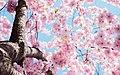 Kungsträdgården cherry blossom (Unsplash).jpg