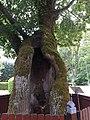 Lípa malolistá Hynčice pod Sušinou (dutina kmene).jpg