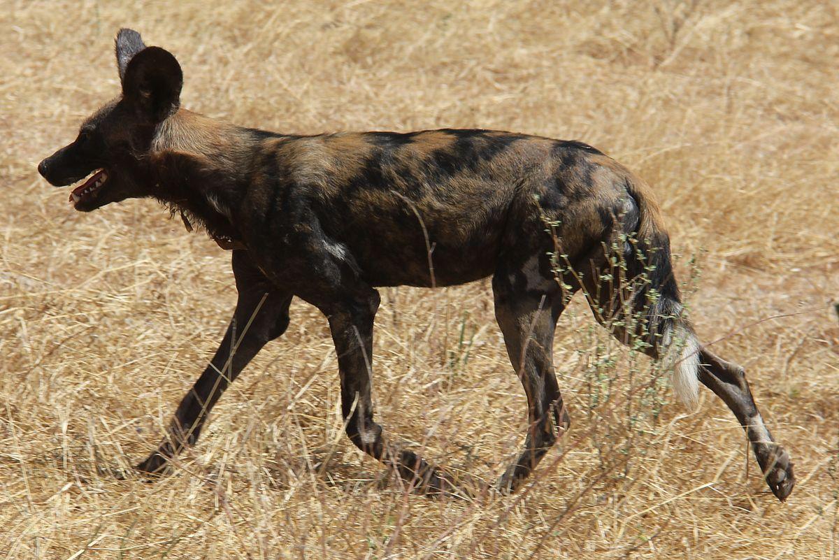 African Wild Dog Breed