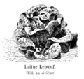 Laitue Lebœuf Vilmorin-Andrieux 1904.png