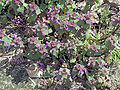 Lamium purpureum plant, paarse dovenetel.jpg