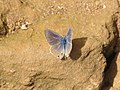Lampides boeticus Linnaeus, 1767 – Pea Blue - Paithalmala (5).jpg