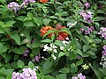 Lantana from Lalbagh flower show Aug 2013 8042.JPG