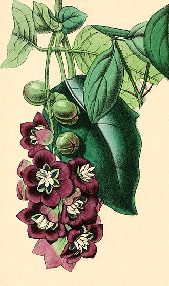 Lardizabala - Image: Lardizabala