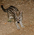 Large-spotted Genet (Genetta tigrina) (17182311499).jpg