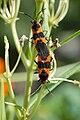 Large Milkweed Bug Oncopeltus fasciatus Mating.jpg
