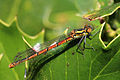 Large red damselfly (Pyrrhosoma nymphula) female form typica.jpg