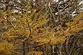 Larix kaempferi 09.jpg
