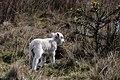 Larry the Lamb 3 (2473204018).jpg