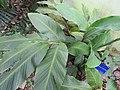 Larsenianthus careyanus-2-JNTBGRI-kerala-India.jpg