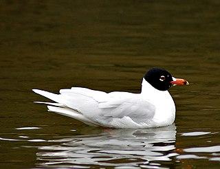 Mediterranean gull species of bird