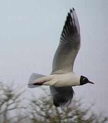 Le Langage des Oiseaux 2 dans OISEAUX 220px-Larus_ridibundus1