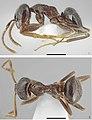 Lasius tapinomoides (10.3897-zookeys.789.27022) Figures 1–2.jpg