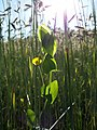 Lathyrus aphaca sl53.jpg