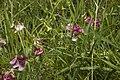 Lathyrus sylvestris coteau-charteves 02 13072007 4.jpg
