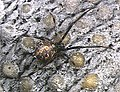 Latrodectus.geometricus.female.-.tanikawa.jpg