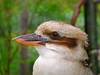 Laughing kookaburra - Large bill and head detail