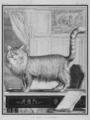 Le Chat d-Angora - Angora Cat - Felis silvestris catus - Gallica - ark 12148-btv1b2300253d-f7.png