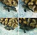 Leaf Scorpionfish in Kona.jpg