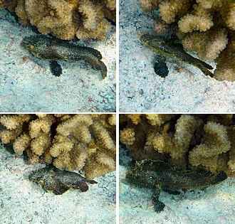 Underwater camouflage - Leaf scorpionfish mimics vegetation swaying in a current.