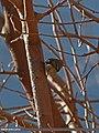 Lemon-rumped Warbler (Phylloscopus chloronotus) (20390665270).jpg