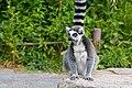 Lemur (36276426533).jpg