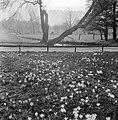 Lenteplaatjes. Crocussen in Vondelpark, Bestanddeelnr 905-6078.jpg