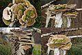 Lenzitus betulinus (Birch Mazegill or Multicolor Gill Polypore, D= Birkentramete oder Birken-Blätterporling, F= Lenzite du bouleau, NL= Fopelfenbankje) white spores and causes white rot at Koningsheide - panoramio.jpg