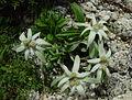 Leontopodium shinanense in Mount Kisokoma 2002-08-03.jpg