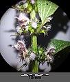 Leonurus cardiaca subsp. cardiaca sl11.jpg