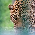 Leopard at Kufri Zoo is starring at my camera.jpg