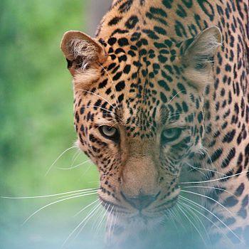 Leopard at Kufri Zoo is starring at my camera.jpg