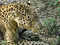 Leopard in the wild.jpg