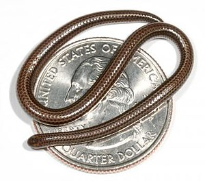Barbados threadsnake - An adult Barbados threadsnake on an American quarter dollar