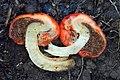 Leratiomyces erythrocephalus (Tul. & C. Tul.) Beever & D.C. Park 918226.jpg
