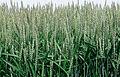 Les Plantes Cultivades. Cereals. Imatge 154.jpg