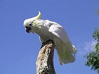 Lesser-sulphur crested cockatoo 31l07