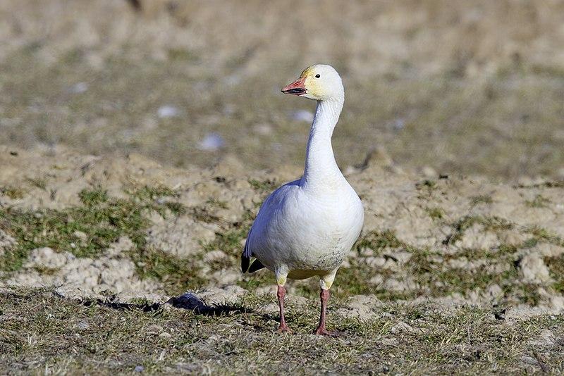 File:Lesser Snow Goose in White Phase.jpg