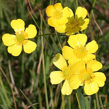 English: Lesser Spearwort The ground beside th...
