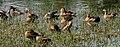 Lesser Whistling-duck (Dendrocygna javanica) grooming & preening W IMG 8450.jpg