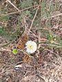Leucaena leucocephalaCV.jpg